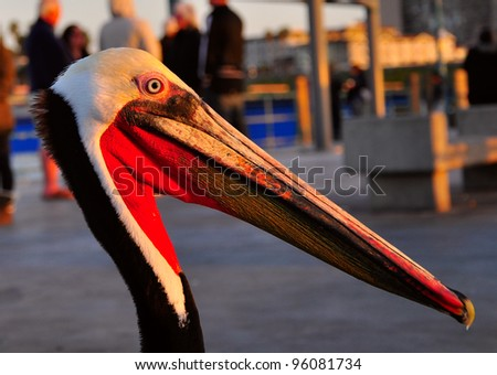 Pelican closeup - stock photo