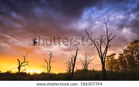 Pelican flies over dead trees on the River Murray - stock photo