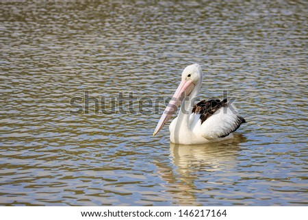 Pelican floating in water - stock photo