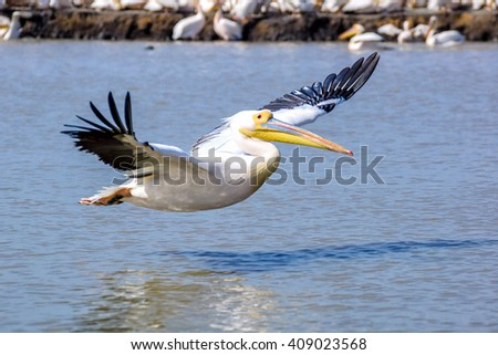 Pelican flying above the water - stock photo