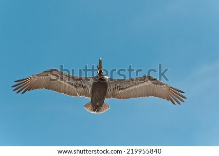Pelican flying over the blue sky - stock photo