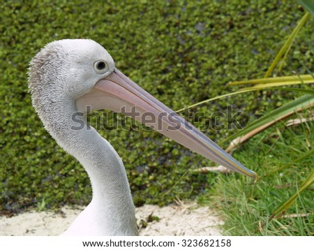 Pelican head, Australia - stock photo
