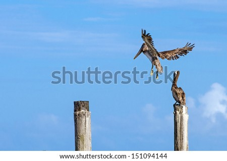 Pelican in flight, about to land on post to rest - stock photo