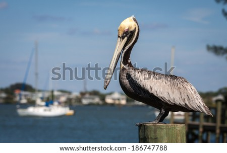 Pelican in late spring at SW Florida - stock photo
