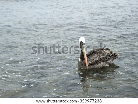 pelican in the ocean