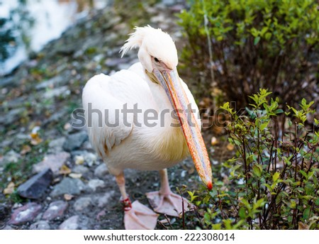 Pelican in the park close up - stock photo