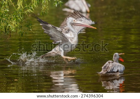 pelican in the water - stock photo