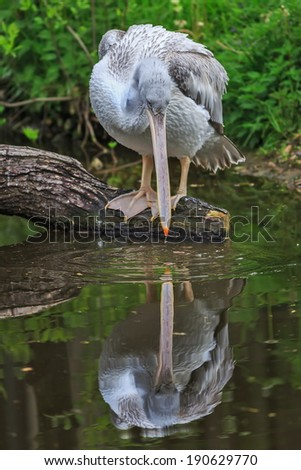 Pelican is observed in water - stock photo