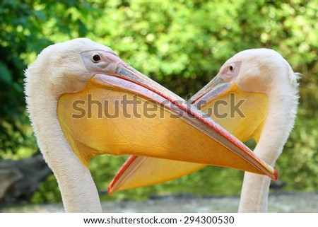 Pelican, lat. Pelecanus onocrotalus - stock photo