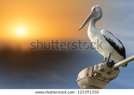 Pelican on a lamp post with the sun setting - stock photo
