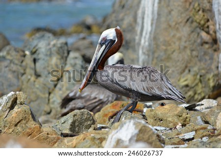 Pelican on a rocky beach
