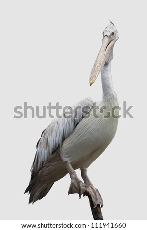 pelican on a tree isolated (clipping path) - stock photo