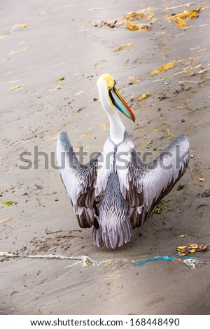 Pelican on Ballestas Islands,Peru  South America in Paracas National park.Flora and fauna