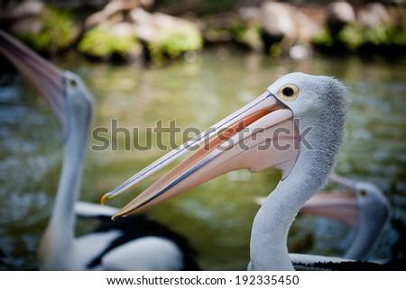 Pelican on lake - stock photo