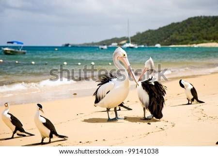 Pelican on the beach, Moreton Island, Australia - stock photo