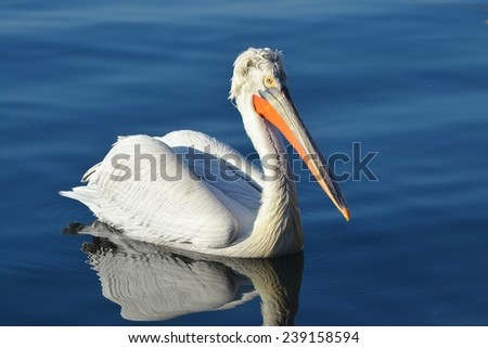 Pelican on Water, Blue Water, White Bird - stock photo