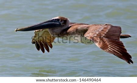 Pelican (pelecanidae) gliding over water  - stock photo