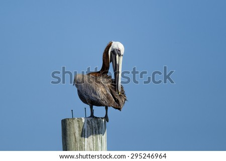 Pelican perched on a post in Central Florida.