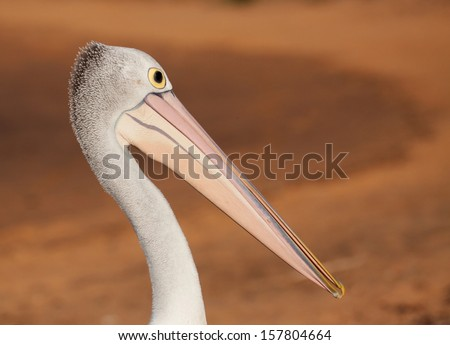 pelican portrait at sunset - stock photo