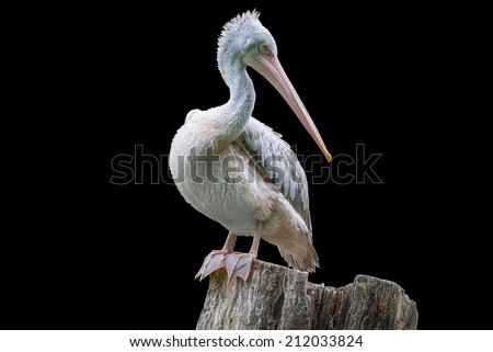 pelican portrait isolated on black background - stock photo