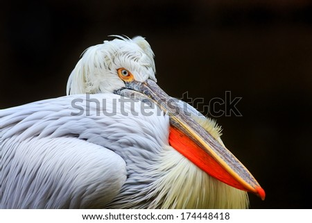 pelican portrait isolated with dark background - stock photo