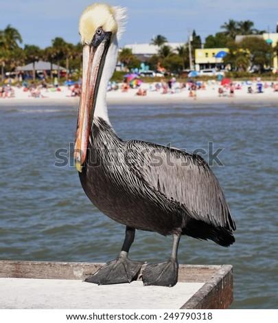 Pelican Pose - stock photo