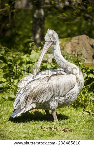 Pelican preening its feathers at Blackbrook Zoological Bird Park, Leek Staffordshire, United Kingdom. - stock photo