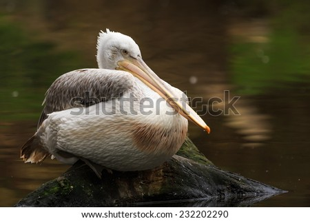 pelican resting above water - stock photo
