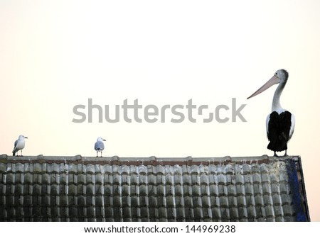 pelican sitting perched shingle roof looking at smaller seagulls . lake forster, forster, neww south wales NSW, australia. big white bird - stock photo