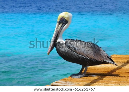 Pelican standing on brown wooden pier with beautiful exotic cyan ocean water in background. Tropical serene pier scene with Caribbean sea.