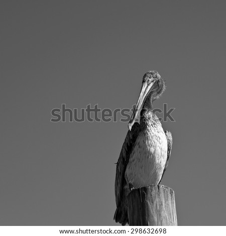 Pelican standing on top of a Wood Dock Post - stock photo