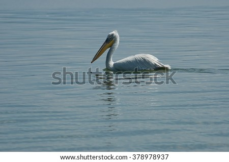 Pelican swimming at Kerkini lake, Greece