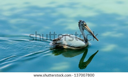 Pelican swimming in blue water - stock photo