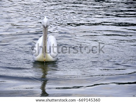 Pelican swimming in the lake
