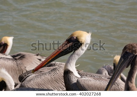 Pelican waiting for food/Pelican in wait/Pelican - stock photo
