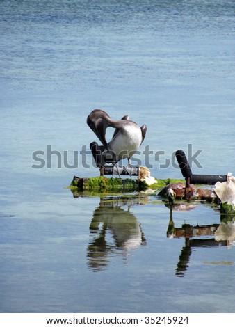 Pelican, Wild Bird Center, Tavernier, Florida Keys - stock photo