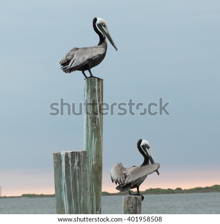 Pelicans at dawn sitting on dock posts - stock photo
