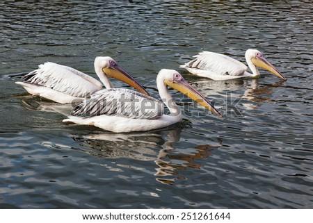 Pelicans cruising by. Three impressive pelicans swim past the camera. - stock photo