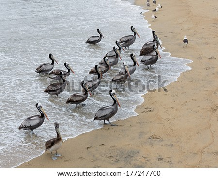 Pelicans flock on the beach near the fishing port in Valparaiso - Chile - stock photo