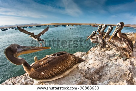 Pelicans in Paracas, Ica, Peru - stock photo