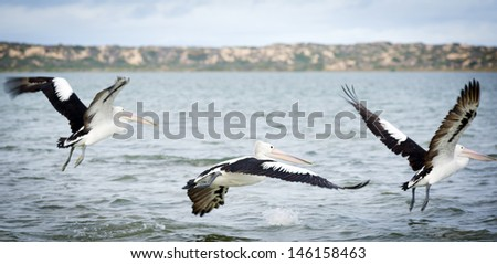 Pelicans in the wild along the Coorong area of South Australia