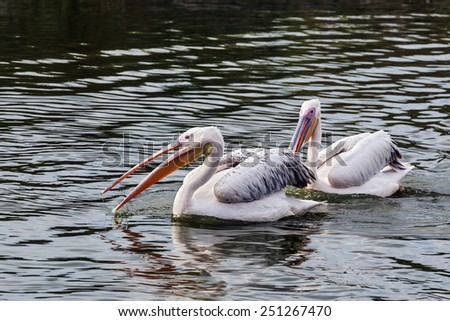 Pelicans passing. A pair of magnificent pelicans float along past the camera. - stock photo