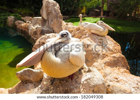 Pelicans. Three big white pelicans sit on stones - stock photo