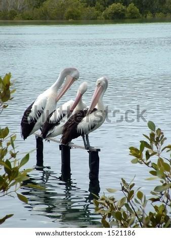 Pelicans trio on rail - stock photo