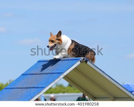 Pembroke Welch Corgi Climbing an A-Frame at a Dog Agility Trial - stock photo
