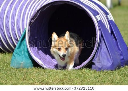 Pembroke Welsh Corgi Leaving Tunnel at a Dog Agility Trial - stock photo