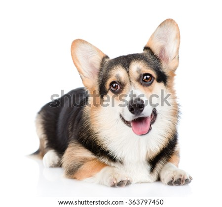 Pembroke Welsh Corgi lying in front view. isolated on white background