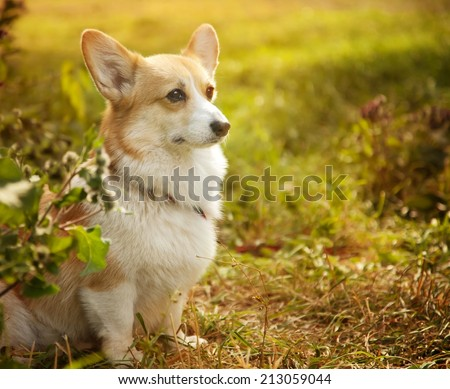 Pembroke welsh corgi outdoors  - stock photo