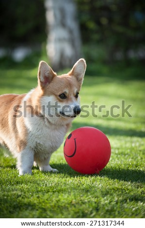 Pembroke Welsh Corgi playing with a red balloon looking sideways vertical - stock photo