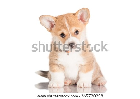 Pembroke welsh corgi puppy  - stock photo